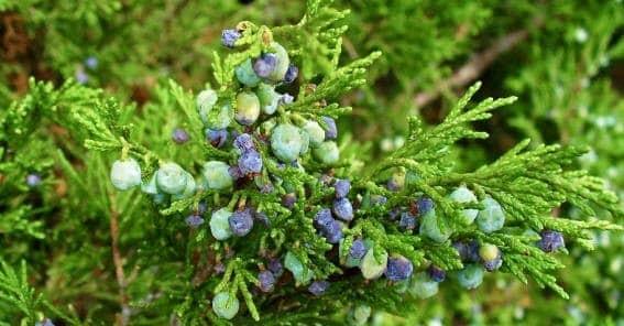 Sabina juniperus